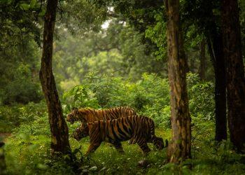 Tigrovi izlaze iz svojih rezervata, lutaju putevima i poljima u potrazi za teritorijom, partnerima i plijenom. (Bryan Denton/NYT)