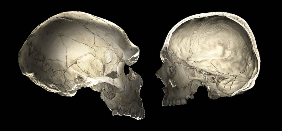 Neanderthals' skulls show that their brains were similar in size to those of modern humans, but oblong in shape. (Philip Gunz)
